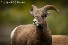 Mr Cool Horn - Big Horn somewhere in Jaspa NP (Canada)